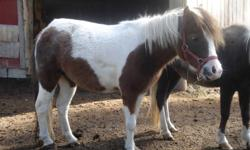 """""""Redemption"""" ia a Silver Bay Pinto (dark beige). She was born in 2005, is around 34"""" and would make a wonderful driving horse. Redemption is very quiet and friendly. She is AMHA Registered. We will do a package deal for any of the horses we have for sale."""