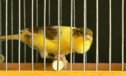 I HAVE  ROLLER  CANARY SINGER banded  2011 about 5 to 6 months old if interested please call ALAN  289 808 6788   http://www.youtube.com/watch?v=OjdklLWMvKg                                (11) male $50  (23) famle$ 40