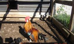 Japanese Phoenix Banty Roosters & Hens. 4 pairs. 2 are this June's hatch, 2 are a year old. $20/pair or all 4 pairs for $50