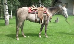 http://www.pattenropehorses.com We have many geldings for sale ithis is just one of many. Tequilla is a Gray4 yr old Ranch Horse, Started Heel horse. To see him and the many others go to the above site. (780) 388-2139