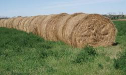 Excellent quality round hay bales. Alfalfa-grass mixture. 80 bales available. $40 a bale. Delivery can be arranged. Ph.232-4746.