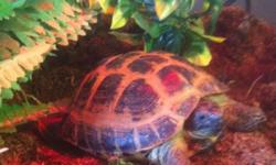 Russian tortoise for sale. She is between 1 to 2 years old. Very healthy and eating like a pig. Very friendly and active. This ad was posted with the Kijiji Classifieds app.