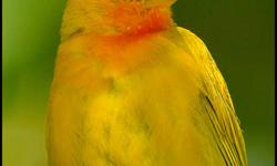 I have available:   1 male and female pair of saffron finch             $75.00 ea