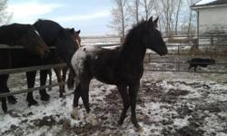 Here is a very pretty little colt. He is a very pretty blanket appy with 2 hind socks. Halter broke. Should mature around 15HH. Born May 2011 He has no appaloosa mottling on his face [no pink or speckles] and is a gorgeous dark chocolate brown. bought him