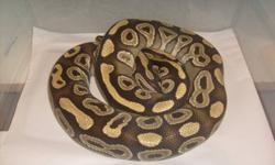 ***SALE SALE SALE** LIMITED TIME OFFER, Our male mojave proven breeder ball python for $200!! Excellent feeder, feeding on small or medium frozen/thawed rats weekly. We also have a 3.5 year old male normal columbian boa for sale - $100!! Approx 4 feet and