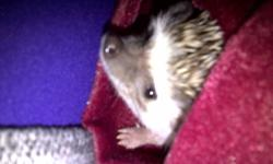 I have a 1 year old female hedgehog named Penny. I am no longer able to keep her so I am looking for a new home for her. She comes with her cage as well as a food dish, a water dish, a litter box, and bedding. I will also give you the left over litter and