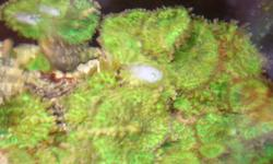 "Large bag of Chaeto algae - FREE I've got a bunch of green ricordia mushrooms ~2""-3"". $5 each. 2-Large Mangroves, even bigger than the picture below. $20 each or both for $30. Pink Chalice ~4""x3"" $50 or toonie sized pieces for $15 And assorted other"