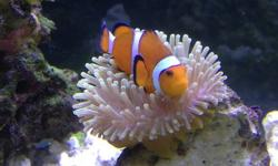 """2 Orange Clown fish $30 Each Aprox 2-3"""" Inches Fuzzy Dwarf Lionfish $40 Aprox 4"""" Inches 3 Spot Damsel $10 Aprox 2 Inches(pic not same fish)"""