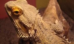 We have a gorgeous male Sandfire Bearded Dragon for sale. He is a proven breeder...has had many successful clutches with his mate. Unfortunately his mate passed and he cannot be housed with our other pair as the males don't like each other. This guy has