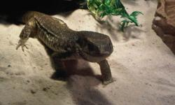 Young Savannah monitor and everything you need to take care of him/ her.   $300.00  o.b.o