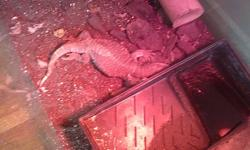 2 year old savannah monitor lizard, son has lost interest as well as we are moving. Easy to take care of and not a fussy eater. Cage is 4 ft long, 2 ft tall and 1.5 ft wide, comes with lamps, logs and tray he uses to soak in. I am coming into saskatoon on