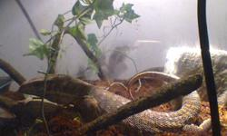 about a year old savannah Monitor with 5ft tank and standeating adult live mice