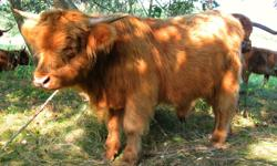 Winchester is a stunning yearling bull with strong, powerful, correct conformation, easy temperament and comes from a long history of superb calf production including Gille Buidhe of Benmore, who is recognized as one of the foundation sires of the