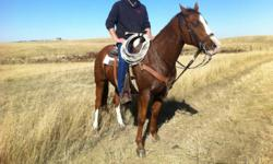 10 yr old sorrel gelding. Stands 15.3hh. Used on the ranch for everything, great for sorting, brandings, very cowy, rode indoor and out, has been to many rodeos, rode the PFRA pastures for many years! Professionally trained and owned, asking 4500, open to