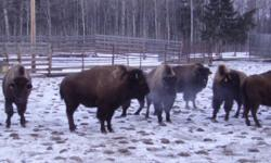 Sekura Livestock JAN. 14TH 2012 Bison Sale   Circle W Ranch Bison These 10 hd of 2 yr old Plains Cross Bison Bred Heifers are very familiar with farm yard activity. They are one owner bison and prior to the breeding season they each were vaccinated with