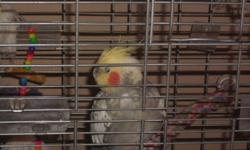 Selling (altogether): - 3 Cockatiel (different colours) - 2 cages, 1 large, 1 small - Toys, and accessories included If interested please contact me with any method below: Cell: 647-894-5710 Email: sssuddin@ yahoo.com