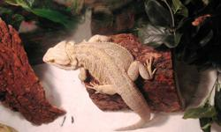 Hey everybody,   I am selling my 2 year old healthy beardie Rex - only been fed by superworms, crickets, and veggies. He is very friendly, active, and loves being carried around and petted. The only reason why I am selling is because we do not have