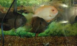 We have three cichlids for sale or swap for other fish.  Two large green and one large gold.  They have been well kept for 7 years.