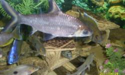 """SHARKS, SHARKS & MORE SHARKS !!!We have several species of sharks for sale.   Bala Sharks - 4 to 6 inches in length We have 8 in total 4 - 4"""" - $15 each - $50 for all 42 - 6"""" - $20 each - $35 for all 4  Rainbow Shark (2) - 5 inch - $20   Red Tailed Shark"""