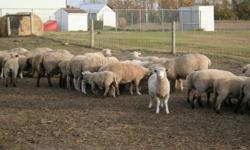 Good sheep for sale $320 each 64 Dorset/Suffolk cross 2nd to 3rd lambers very good mothers are all taged and have had vac.  Also 1 very good suffolk Ram.   Please call if you have any questions 403-323-0666 or 403-323-3443