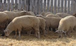 56 ewe lambs that are mostly Canadian Arcott or Canadian Arcott crosses.   Weighed them on Thanksgiving Monday with an average weight of 106 pounds.  Born end of April to mid May. Very nice uniform group.  Ready to breed later this fall.  Asking $250