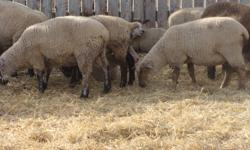 40 ewe lambs for sale born late April to mid-May.  Mostly Canadian Arcott or Canadian Arcott crosses.  Ready for breeding.  Willing to sell in smaller lots.  Asking $250 each if you pick the ones you want.  Will sell the whole works for $225 each.  Call