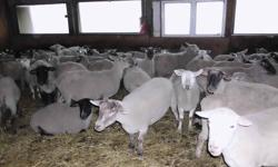 We are offering exposed Ewes 2-5year old (they are mix) $350 each