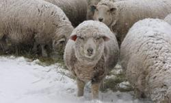 3rd annual sheep shearing course- March 2&3 2012   9am-4pm each day Cost-$250.00+GST      Lunch and refreshments are provided throughout the day. This is a great course for beginner shearers to experienced shearers. We have producers wanting to shear