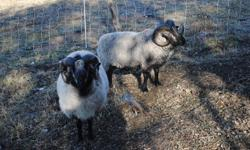 2 Shetland rams for sale or trade for new breeding stock asking 350 ea. Shetland ram lamb born May 2011 asking 250 ea
