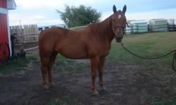 2007 double registered AQHA/APHA mare: ?Sheza Really Sompin? aka Lilo. Great pedigree! Sired by Clayboy, and out of a Rocket Wrangler daughter. She stands 14.3 HH and is four years old. She has a nice build, beautiful face. Was used for 4H this past year