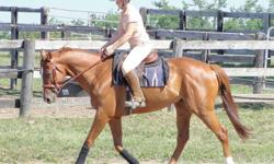 """16 hh 6 yr old chestnut gelding with chrome.  Flashy mover with big step, well schooled on flat, jumping 2'6"""" course with filler.  No spook or stop, very easy and sensible.  Quiet and personable, has been to several shows, very well behaved.  Trailers,"""