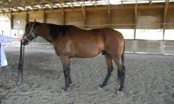 "Ex. Alta is a 10 year old reg'd TB gelding standing at approx 16.1hh. He is 100% sound with a more solid ""warmblood"" type build than you see in most TB's and a very unflappable, calm disposition to match. He is not spooky and has never offered to buck or"