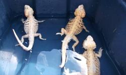 I currently have 13 sub-adult bearded dragons available.  All dragons are between 14 and 20 inches in length.   Hypo-Italian Leatherback- Orange male - $100 each Pastel Hypo-Italian Leatherback Males and Females - $125 each Hypo- Italian Leatherbacks