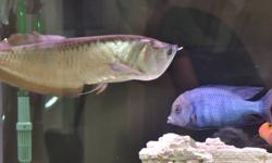 14 INCH SILVER AROWANA FOR SALE -IF INTERESTED, SEND ME AN EMAIL OR CALL AFTER 6PM-