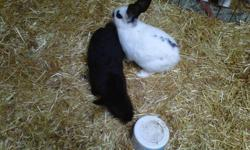 Six bunnies, black and white. Only one white with brown, one all black, and 4 white with black. Approximately 4 months old. $10 each. Email only.