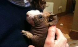 Hello I have a Skinny pig for sale; I bought at pet smart a year ago. He is friendly and loves to run around and spend time with people. He is a real cool pet.  I don?t spend enough time with him, so I am looking for someone who can spend more time with