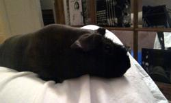 Snipe is a 1-1/2 year old Black Skinny Pig with hair on his nose and feet. He is a great pet, very gentle and these animals do not bite. He loves to come out and play and is very affectionate. He will eat from your hand. We are looking for a good home for