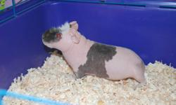 Skinny Pig for sale * less than 1 year old * purchased from pet store Jan. 2011 * cage, water bottle, snack dispenser, hay wheel Skinny Pig loves to be held and very good with all children.  Looking for a good home.