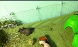 I have two amazing male skinny pigs, one black(Chubbs) and one pink (Peameal) that need a new, overly caring home. They are almost a year old. I am leaving for school and would love to bring them but their cage is too big because they deserve only the