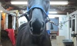 H.V. Jimmy aka Jimmy Very handsome and sleek black, 6-year old gelding available to a new home. The pictures of this gelding do not do him justice! He is in great condition, healthy rich black coat and and is a nice size (about 15.3HH). His owner