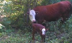For sale 3 bred cows and calf pairs. 1 seven year old Angus x with heifer born June 11, 2 charolais hereford x two and four year olds with heifer calf DOB June 11 and bull calf august 4. 3 year old unpapered horned hereford bull. Very quiet and low
