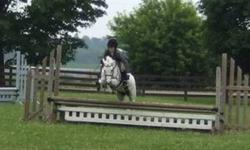 Peabody is a 9 year old, 12.1hh Welsh pony. He shows on the Central West Trillium Circuit in the Small Pony Division. He is a talented, very fancy pony with a good temperament and nice movement. He clips, trailers, bathes well and is great with the