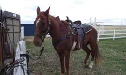 We have a Chesnut gelding Tennessee Walking Horse His name is Yankee birthdate: May 15 1999 Yankee's Sire: Iron Eagle's Cherokee Yankee's Dam: Tooty he could not be registered because his dam is not 100% Tennessee Walker ... He's been riden in the