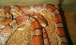 Corn Snake for sale: About 3ft 6 inchs long Comes with all the equipment you need: Heat Lamp Heat Pad Thermometer Water dish Cave Terrarium (about 18 inches square) Substrate Driftwood climbing stand