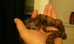 I have a male het hypo brazilain rainbow boa for sale. Het Guarantee/proof of het provided. Birth Date:Aug 6/2010 I am asking $300. Pictures are camera phone, so aren't the highest quality pics. Please use a valid email address when contacting me.I work