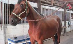 Good Night Rene aka  ?Rene? is looking for a great new home! This 10 year old, bay gelding is very kind, easy to handle, and is a nice size (about 16hh) He is big boned, of a great weight, and has the kindest face! Rene was retired from racing as a result