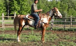 PP FLEETS SOCKETT 2000 APHA 15 HH, STALLION STANDING STUD FOR THE 2012 BREEDING YEAR.... Own son of MR FLEET, APHA Champion with 3 ROM'S , 65 Performance pts. 36 Halter Pts. 11 Grand Champions, 8 Reserve Champions. Halter,Hunter Under Saddle, Trail &