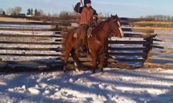 We are offering a sorrel 10 year old Quarter- Horse gelding for sale or trade. He is a very willing horse. He was ridden in 4 H shows and has been on a few trail rides in the mountains. You can swing a rope on him and he can drag logs. We would consider a
