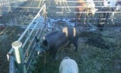 i have a 500 pound sow for sale