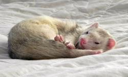 We specialize in taking care of ferrets, reptiles, and amphibians.  Reliable married couple with references available. FERRETS: To ensure proper care, interaction and the health of the animals staying with us we only allow up to 4 ferrets boarding at one